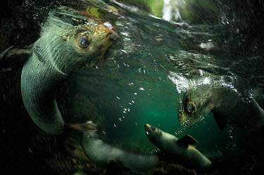 New Zealand fur seal (Arctocephalus forsteri) pups playing in freshwater pool, Ohau Stream, near Kaikoura, New Zealand, July  -  Solvin Zankl/ npl