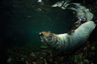 New Zealand fur seal (Arctocephalus forsteri) pup swimming on back in shallow freshwater, Ohau Stream, near Kaikoura, New Zealand, July  -  Solvin Zankl/ npl