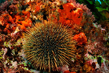 Sea urchin (Evechinus chloroticus) Poor Knights Islands, Marine Reserve, New Zealand, South Pacific Ocean, July  -  Solvin Zankl/ npl