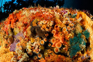 Underwater rock face covered in Striped anemones (Actinothoe albocincta), Sponges and Hydroids, Poor Knights Islands, Marine Reserve, New Zealand, South Pacific Ocean, July  -  Solvin Zankl/ npl