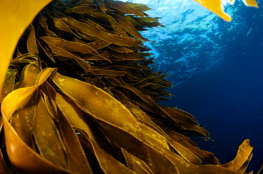 Strap kelp (Lessonia variegata) blades, Poor Knights Islands, Marine Reserve, New Zealand, South Pacific Ocean, July  -  Solvin Zankl/ npl