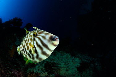 Leatherjacket (Parika, Meuschenia scaber) portrait, Poor Knights Islands, Marine Reserve, New Zealand, South Pacific Ocean, July  -  Solvin Zankl/ npl