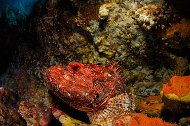 Northern scorpionfish (Scorpaena cardinalis) Poor Knights Islands, Marine Reserve, New Zealand, South Pacific Ocean, July  -  Solvin Zankl/ npl