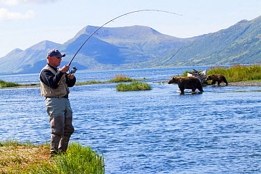 Man fishing for Coho salmon with Grizzly bears (Ursus arctos horribilis) crossing the stream behind him, Olga Bay, Kodiak Island, Alaska Non exculsive  -  Lynn M. Stone/ npl