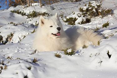 Samoyed dog in snow, Ledyard, Connecticut, USA  -  Lynn M. Stone/ npl