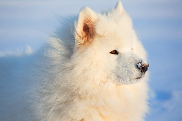 Samoyed dog in snow, Ledyard, Connecticut, USA Non exclusive  -  Lynn M. Stone/ npl