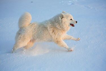 Samoyed dog running in snow, Ledyard, Connecticut, USA Non exclusive  -  Lynn M. Stone/ npl