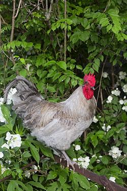 Lavender Orpington rooster on old, rusty plough Calamus, Iowa, USA  -  Lynn M. Stone/ npl