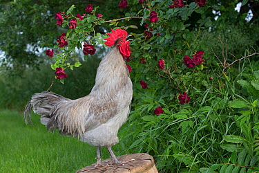 Lavender Orpington rooster on old on overturned basket in grass beside rose bush Iowa, USA  -  Lynn M. Stone/ npl