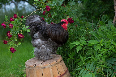 Blue Cochin Rooster perched on overturned peach basket by shrub rose, Calamus, Iowa, USA  -  Lynn M. Stone/ npl