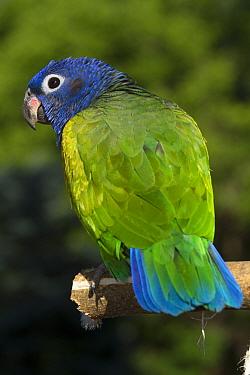 Blue-Headed Parrot (Pionus menstruus) rear view, captive, native to Central and South America  -  Lynn M. Stone/ npl