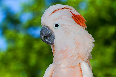 Salmon-Crested Cockatoo (Cacatua moluccensis) captive native to south Moluccas in eastern Indonesia  -  Lynn M. Stone/ npl