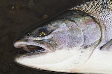 A freshly caught Silver salmon (Oncorhynchus kisutch) from Olga Bay, Kodiak Island, Alaska, August  -  Lynn M. Stone/ npl