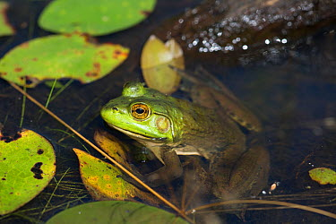 Bullfrog (Lithobates catesbeianus) in pond amongst White Water-Lily pads, Connecticut, USA, August  -  Lynn M. Stone/ npl
