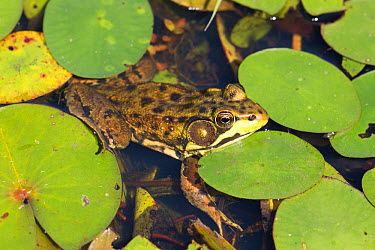 Northern Leopard Frog (Lithobates pipiens) in pond amongst White Water-Lily pads, Connecticut, USA, August Non exclusive  -  Lynn M. Stone/ npl
