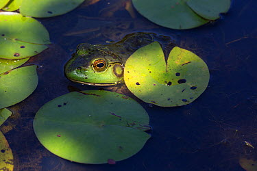Bullfrog (Lithobates catesbeianus) in White Water-Lily pads, Connecticut, USA, August  -  Lynn M. Stone/ npl