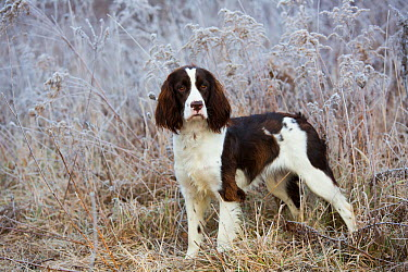 English Springer Spaniel on frosty morning, Canterbury, Connecticut, USA Non exclusive  -  Lynn M. Stone/ npl