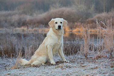 Golden Retriever by pond on frosty winter morning, Canterbury, Connecticut, USA  -  Lynn M. Stone/ npl