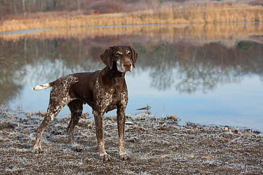 German Shorthair Pointer at pond edge, Canterbury, Connecticut, USA Non exclusive  -  Lynn M. Stone/ npl