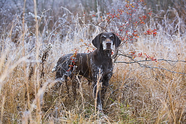 German Shorthair Pointer in grasses, Canterbury, Connecticut, USA Non exclusive  -  Lynn M. Stone/ npl