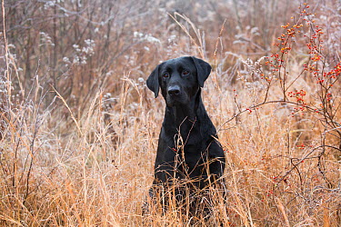 Black Labrador Retriever in tall grass, Canterbury, Connecticut, USA Non exclusive  -  Lynn M. Stone/ npl