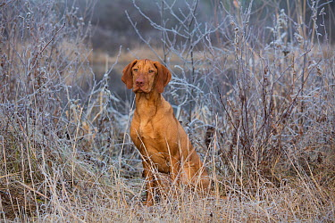 Hungarian Vizsla on frosty morning, Canterbury, Connecticut, USA Non exclusive  -  Lynn M. Stone/ npl