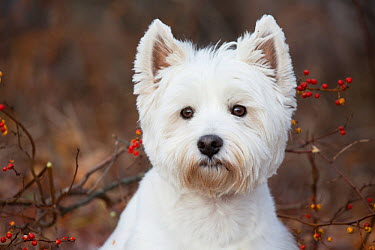 West Highland Terrier portrait, Canterbury, Connecticut, USA Non exclusive  -  Lynn M. Stone/ npl
