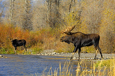 Moose (Alces alces) bulls on a wild mountain river Grand Teton National Park, Wyoming, USA, October  -  George Sanker/ npl
