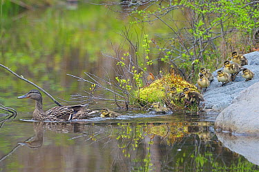 Mallard (Anas platyrhynchos) mother leads newborn ducklings into the water Acadia National Park, Maine, USA, May  -  George Sanker/ npl
