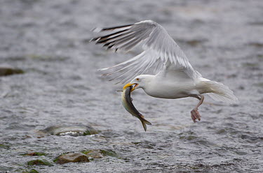Herring Gull (Larus argentatus) carries off Alewife (Alosa pseudoharengus) Acadia National Park, Maine, USA, June  -  George Sanker/ npl