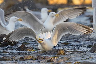 Herring Gull (Larus argentatus) swallows Alewife (Alosa pseudoharengus) Acadia National Park, Maine, USA, June  -  George Sanker/ npl