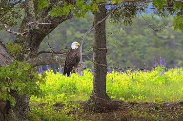 Bald Eagle (Haliaeetus leucocephalus) sitting on a branch Acadia National Park, Maine, USA, June  -  George Sanker/ npl
