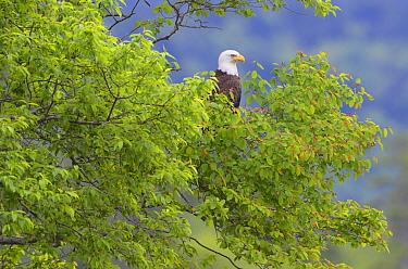 Bald Eagle (Haliaeetus leucocephalus) sitting in a tree Acadia National Park, Maine, USA, June  -  George Sanker/ npl