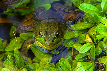 Northern Green Frog (Lithobates clamitans melanota) with head out of water Acadia National Park, Maine, USA, September  -  George Sanker/ npl