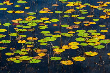 Fragrant Water Lily (Nymphaea odorata) Acadia National Park, Maine, USA, October  -  George Sanker/ npl