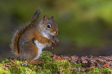 American Red Squirrel (Tamiasciurus hudsonicus) Acadia National Park, Maine, USA, October  -  George Sanker/ npl