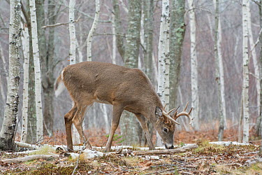 White-tailed Deer (Odocoileus virginianus) mature buck feeding in birch woods Acadia National Park, Maine, USA, November  -  George Sanker/ npl