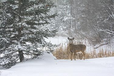 White-tailed Deer (Odocoileus virginianus) in snowstorm Acadia National Park, Maine, USA, January  -  George Sanker/ npl