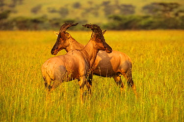 Topis (Damaliscus korrigum) mature males sparring in a Serengeti sunrise Masai Mara National Reserve, Kenya, East Africa, January  -  George Sanker/ npl