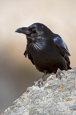 Common Raven (Corvus corax) on a rock Jasper National Park, Alberta, Canada, September  -  George Sanker/ npl