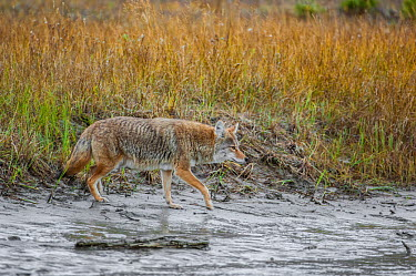 Coyote (Canis latrans) approaching the Athabasca River Jasper National Park, Alberta, Canada, September  -  George Sanker/ npl
