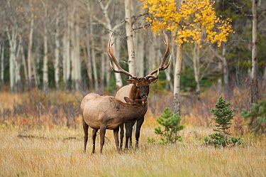 Elk (Cervus elaphus) bull approaching cow during the rut Jasper National Park, Alberta, Canada, September  -  George Sanker/ npl