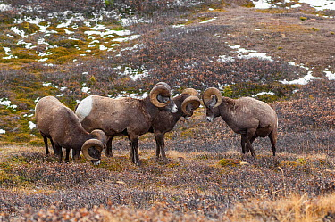 Bighorn sheep (Ovis canadensis) rams sparring in a high mountain pass in Jasper National Park, Alberta, Canada, October  -  George Sanker/ npl
