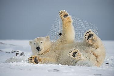 Polar bear (Ursus maritimus) subadult playing with a fishing net left behind by subsistence fisherman, along the Arctic coast in autumn, North Slope, Alaska, September  -  Steven Kazlowski/ npl