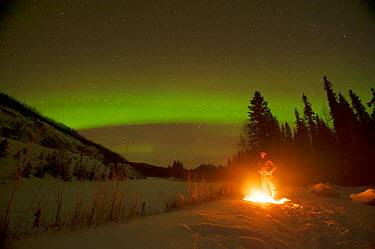 Northern lights (Aurora borealis) glowing brightly over a man enjoying a hot campfire in the Chena River State Recreational Area, outside of Fairbanks, Interior of Alaska, November 2013  -  Steven Kazlowski/ npl