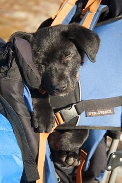 Tired puppy asleep in a backpack, Mount Townsend, northwest Olympic National Park, Olympic Peninsula, Washington, USA November 2013  -  Steven Kazlowski/ npl