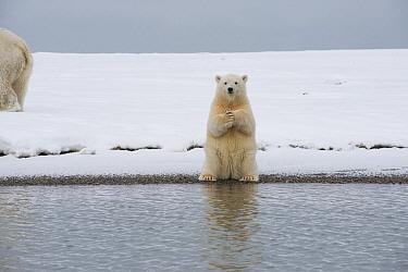 Polar bear (Ursus maritimus) spring cub sitting up on its haunches and scratches itself, on a barrier island during autumn freeze up, Bernard Spit, North Slope, Alaska, September  -  Steven Kazlowski/ npl