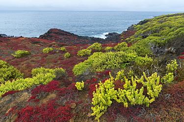 Halophilic (Salt loving) plants, Nolana galapagana (green) and Sessuvium sp (red) along lava shoreline Punta Pitt, San Cristobal Island, Galapagos Islands June 2013  -  Tui De Roy/ npl