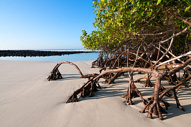 Red mangrove (Rhizophora mangle) growing along tidepool Tortuga Bay, Santa Cruz Island, Galapagos Islands  -  Tui De Roy/ npl