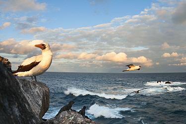 Nazca booby (Sula granti) with Marine iguanas (Amblyrhynchus cristatus) on rocky coast line, Punta Cevallos, Espanola, Hood Island, Galapagos  -  Tui De Roy/ npl